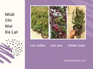 Giá cây hoa nhất chi mai Đà Lạt - Nhà vườn trên MuaBanNhanh chỉ cách trồng, chăm sóc hoa nhất chi mai ra quanh năm, nở đúng Tết