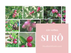 Cây siro bán ở đâu? Giá trị của cây siro về dược liệu, ăn quả, làm cảnh có ở Việt Nam