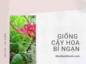 Địa chỉ mua bán giống cây hoa bỉ ngạn - Tư vấn cách trồng cây hoa bỉ ngạn từ nhà vườn trên MuaBanNhanh