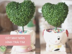 Cây may mắn bao nhiêu tiền, để được bao lâu, tìm mua cây may mắn quả cầu, hình trái tim, hình khối TPHCM
