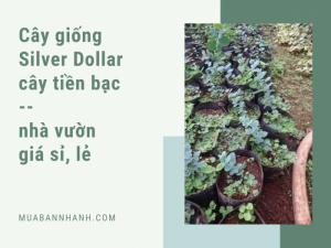 Bán cây silver dollar giá lẻ, giá sỉ từ nhà vườn nhân giống cây đô la số lượng lớn trên MuaBanNhanh