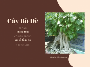 Cây bồ đề trong phong thủy: Có nên trồng cây bồ đề Ấn Độ trước nhà?