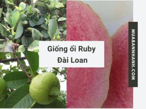 Bán giống ổi Ruby Đài Loan - ổi Ruby ruột đỏ không hạt từ vườn ươm cây ăn trái trên MuaBanNhanh
