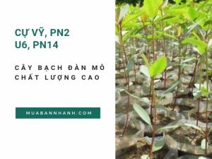 Giá cây bạch đàn mô chất lượng cao - Cự Vỹ, PN2, U6, PN14 trên MuaBanNhanh
