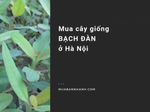 Mua cây giống bạch đàn ở Hà Nội - Giống cây bạch đàn Trung Quốc