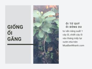 Top nhà vườn chuyên giống cây ổi găng - ổi Tứ Quý - ổi Đông Dư cùng tư vấn năng suất 1 cây ổi, chiết cây ổi vào tháng mấy tại vườn nhà