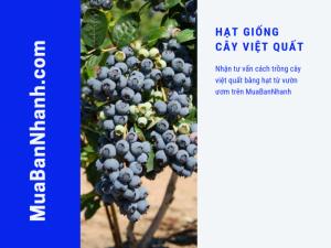 Đặt mua hạt giống cây việt quất - Nhận tư vấn cách trồng cây việt quất bằng hạt từ vườn ươm trên MuaBanNhanh