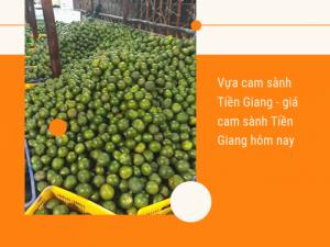 Vựa cam sành Tiền Giang - giá cam sành Tiền Giang hôm nay