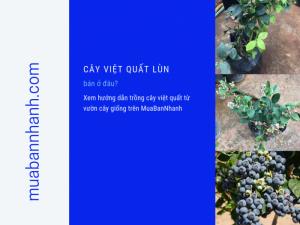 Cây việt quất lùn bán ở đâu? Xem hướng dẫn trồng cây việt quất từ vườn cây giống trên MuaBanNhanh