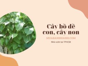 Tìm mua cây bồ đề nhỏ, cây bồ đề non TPHCM trên MuaBanNhanh