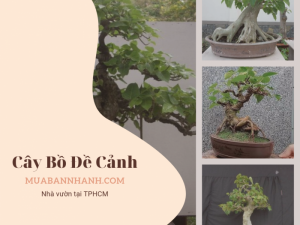 Xem giá cây bồ đề cảnh - địa chỉ bán cây bồ đề từ nhà vườn trên MuaBanNhanh