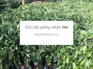 Giá cây giống nhãn Ido - mô hình trồng nhãn Ido ở Cần Thơ - mua cây giống nhãn Ido trên MuaBanNhanh