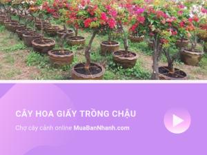 Cách trồng cây hoa giấy vào chậu trên sân thượng nhà phố Sài Gòn - Chợ cây cảnh online MuaBanNhanh