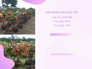Mối bán buôn hoa giấy dịp Tết: cây hoa giấy Mỹ, hoa giấy Nhật, hoa giấy Thái