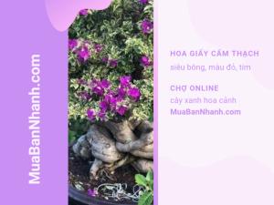 Giá cây hoa giấy cẩm thạnh đỏ, tím - giống bông giấy cẩm thạch siêu bông từ cây xanh hoa cảnh MuaBanNhanh