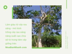 Làm giàu từ cây rau sắng - mô hình trồng cây rau sắng năng suất cao chia sẻ từ trung tâm cây giống trên MuaBanNhanh