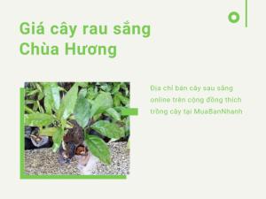 Giá cây rau sắng Chùa Hương - Địa chỉ bán cây sau sắng online trên cộng đồng thích trồng cây tại MuaBanNhanh