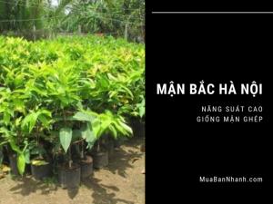 Giống cây mận Hà Nội, mận Bắc, mận hậu, mận ghép cho năng suất cao từ nhà vườn nghề nông trên MuaBanNhanh