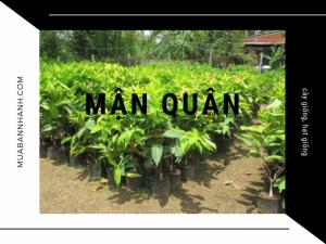 Mua bán cây mận quân giống trên MuaBanNhanh - Kỹ thuật trồng cây mận quân Nghệ An