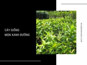 Mua cây giống mận xanh đường - Kỹ thuật trồng mận xanh đường từ nhà vườn cây ăn trái MuaBanNhanh
