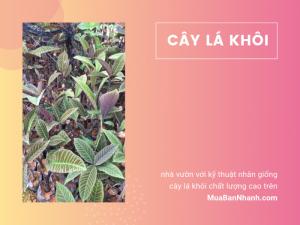 Chuyên giống cây lá khôi từ nhà vườn với kỹ thuật nhân giống cây lá khôi chất lượng cao