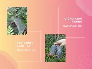 Giá giống cây khôi nhung, cây khôi nhung tím, cây khôi tía từ vườn cây giống trên MuaBanNhanh