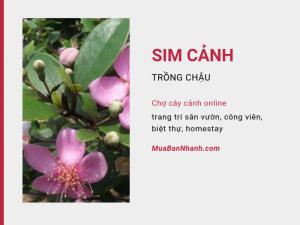 Giá cây sim cảnh đẹp trồng chậu trang trí sân vườn, công viên, biệt thự, homestay - Chợ cây cảnh online MuaBanNhanh