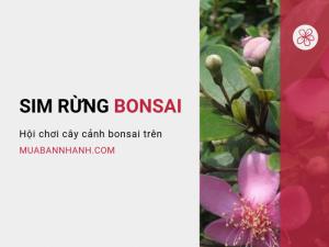 Cây sim rừng bonsai, cây sim rừng cổ thụ - Hội chơi cây cảnh bonsai trên MuaBanNhanh