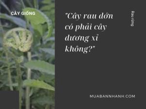 Cây rau dớn có phải cây dương xỉ không? Giống cây dương xỉ và rau dớn trên MuaBanNhanh