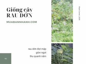 Bán giống cây rau dớn TPHCM - Mua giống rau dớn đọt mập, giòn ngọt, thu quanh năm trên MuaBanNhanh