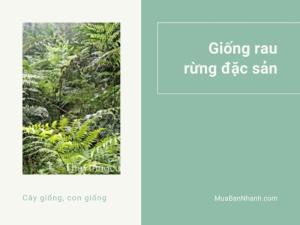 Giống rau rừng đặc sản - Cách trồng, chăm sóc, nhân giống cây rau dớn rừng