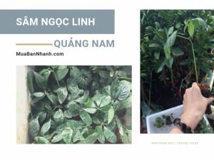 Địa chỉ mua giống sâm Ngọc Linh Quảng Nam - Danh sách nông trường giống sâm chất lượng ở Quảng Nam
