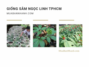 Mua bán cây giống sâm Ngọc Linh TPHCM - Danh sách trung tâm giống cây trồng TP.HCM