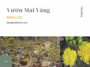 Vườn mai vàng Bình Lợi - Bán, cho thuê, dịch vụ chăm sóc mai vàng Bình Lợi, TPHCM