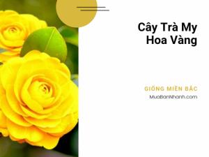 Địa chỉ mua cây trà hoa vàng giống miền Bắc tại Hà Nội - Chợ cây giống MuaBanNhanh