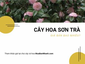Mua bán cây hoa sơn trà từ chợ cây và hoa MuaBanNhanh