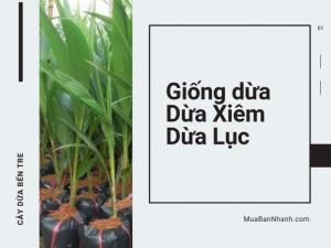 Nơi bán giống dừa xiêm lục trái to, cho nhiều trái - Top vườn dừa xiêm lục Bến Tre nổi tiếng trên MuaBanNhanh