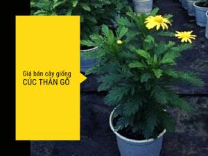Giá cúc thân gỗ - MuaBanNhanh địa chỉ mua cúc thân gỗ online từ nhà vườn cung cấp cây hoa giá sỉ