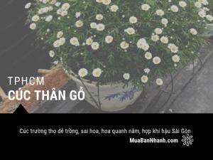 Bán cúc thân gỗ TPHCM - Cúc trường thọ dễ trồng, sai hoa, hoa quanh năm, hợp khí hậu Sài Gòn