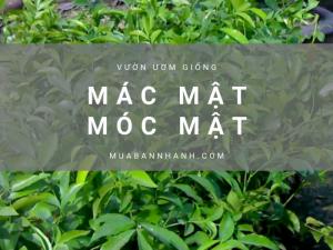 Giá cây móc mật, cây mác mật - Vườn ươm bán cây móc mật giống Hà Nội