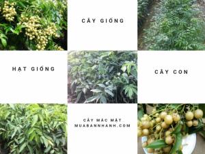 Nhà vườn ươm cây mác mật giống tư vấn kỹ thuật trồng cây mác mật