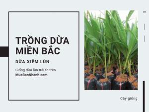 Làm giàu từ trồng dừa xiêm lùn ở miền Bắc - Mô hình trồng dừa ở Thanh Hóa