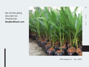 Địa chỉ bán giống dừa xiêm lùn TPHCM trên MuaBanNhanh
