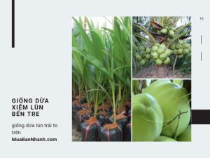 Vựa giống cung cấp giống dừa xiêm lùn Bến Tre - giống dừa lùn trái to