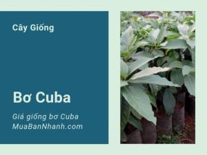 Mua bán giống bơ Cuba M3 - Mô hình trồng bơ Cuba ở Đăk Nông
