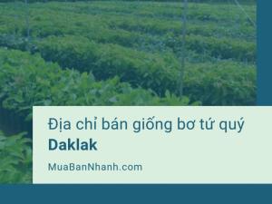 Địa chỉ bán giống bơ tứ quý Daklak - Nhà vườn tư vấn kỹ thuật trồng bơ tứ quý từ MuaBanNhanh