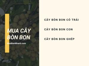 Mua cây bòn bon ở đâu? Cây bòn bon có trái, cây bòn bon con, cây bòn bon ghép từ nhà vườn online trên MuaBanNhanh