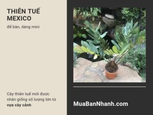 Cây thiên tuế mới - cây thiên tuế Mexico để bàn, dáng mini được nhân giống số lượng lớn từ vựa cây cảnh trên MuaBanNhanh