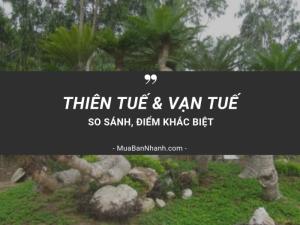 Cây thiên tuế và cây vạn tuế khác nhau như thế nào? Cách chăm sóc cây thiên tuế, cách bứng cây thiên tuế