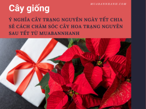 Ý nghĩa cây trạng nguyên ngày Tết - Chia sẻ cách chăm sóc cây hoa trạng nguyên sau Tết từ MuaBanNhanh